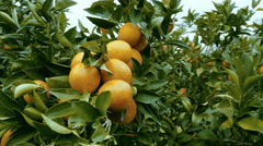 Orange grove, steadicam gimbal shot around a branch full of ripe organic oranges - stock footage
