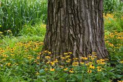 Black-eyed susan flowers surrounding tree trunk - stock photo