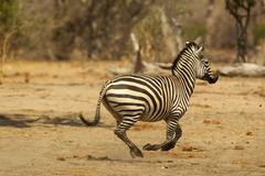 Burchell's Zebra, Equus burchelli, running Stock Photos