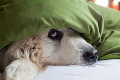 Domestic dog hiding under duvet - stock photo