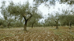 Field full of olive trees walking tracking pov steadicam Stock Footage