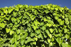 Evergreen climbing vine against blue sky Stock Photos