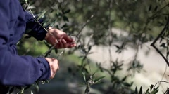 Closeup of farm worker harvesting black olives from olive tree's branches. Stock Footage