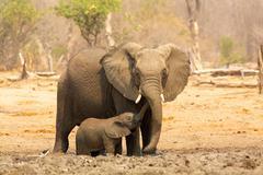 Elephant, Loxodonta africana, and calf Stock Photos