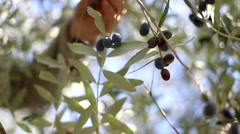 Macro shot of farm worker's arm harvesting black olives. Stock Footage