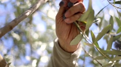 Macro shot of farm worker harvesting olives. Stock Footage