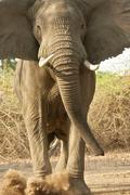 Aggressive African Elephant (Loxodonta africana) kicking dust, Mana Pools Stock Photos