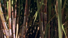 Sugar cane, Madeira - Portugal Stock Footage