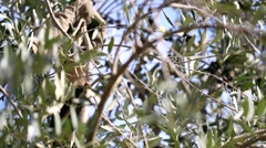 Closeup harvesting olives. Selective focus. - stock footage