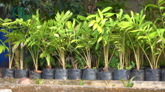 Salacca tree nursery preparation plant Stock Footage