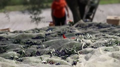Pan shot of farm workers during olive harvesting. Stock Footage