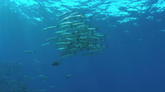 4K - School of Barracudas and Trevallies Stock Footage