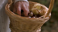 Woman picking chestnut from floor. - stock footage