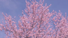 Lovely pink spring flowers, flowering cherry tree Sakura, lovely pink spring flo Stock Footage