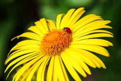 The ladybug sits on a yellow daisy flower isolated green background - stock photo