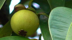 Mangosteen Stock Footage