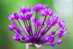 Single allium flower with bright violet head on a garden background - stock photo