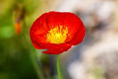 One beautiful red poppy isolated on garden background Stock Photos