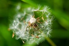 Close-up of partially blown away dandelion in nature background Stock Photos