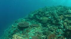 Oriental Sweetlip on a coral reef. 4k Stock Footage