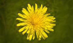 Dandelion in Bloom Stock Photos