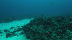 Coral reef with a Whitetipr Reef Shark. 4k - stock footage