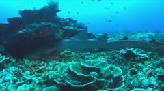 Nurse shark on a coral reef. 4k Stock Footage