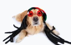 Studio portrait of golden retriever wearing dreadlocks and sunglasses Stock Photos