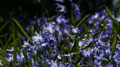 Squill (scilla) flowers Stock Footage