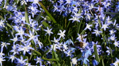 Bumblebee in Squill (scilla) flowers Stock Footage
