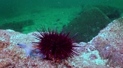 Sea urchin on the sea floor in search of food. - stock footage