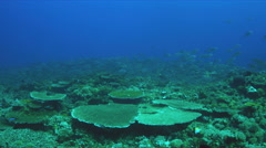 School of Blue Trevallies on a coral reef. 4k Stock Footage