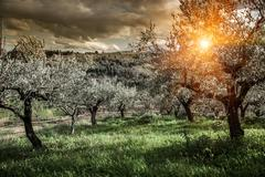 Olive trees in Chieti, Abruzzo, Italy - stock photo