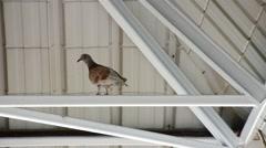 Bird Pigeon under roof - stock footage