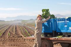 Young man loading vegetables onto crates on trailer Stock Photos