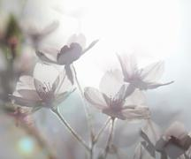 Ethereal shot of white cherry blossom, prunus serrulata - stock photo
