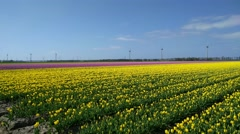 Tulip fields in Holland. Windpark at horizon. Stock Footage
