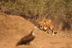 Lioness (Panthera leo) stalking bird, Mana Pools National Park, Zimbabwe, Africa Stock Photos