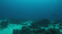 Coral reef with many Triggerfishes and Fusiliers. 4k Stock Footage
