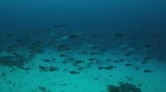School of Unicornfish 4k Stock Footage