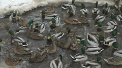 Feeding ducks and drakes in creek in winter Stock Footage