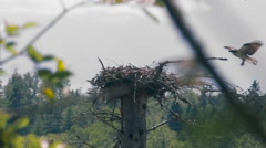 Osprey bird flying into tree top nest Stock Footage