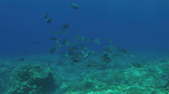School of Trevallies on a coral reef.  4k Stock Footage
