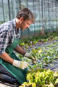 Organic farmer tending young plants in polytunnel Stock Photos