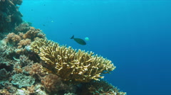 Surgeonfish with cleaner wrasses. 4k Stock Footage