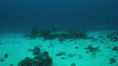 Whitetip Reef Shark and Blue and yellow Fusiliers - Caesio teres. 4k Stock Footage