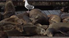 Pile of Sea lions sleeping on the pier Stock Footage
