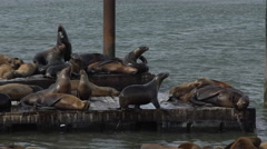 Sea lions interact on the pier - stock footage