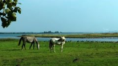 Poel, horses grazing on a meadow Stock Footage