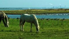 Poel, grazing horsesger Stock Footage